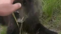 Едва не лишился руки: автомобилист погладил обедающего медвежонка на дороге Ямала