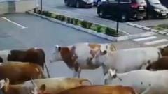 В Хакасии большое стадо коров застопорила движение транспорта на площади аэровокзала