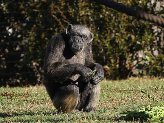 Скончалась старейшая в Европе шимпанзе Джуди