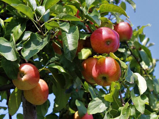 Яблочный спас: что категорически нельзя делать 19 августа