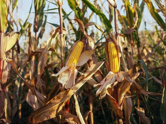 В Курской области на кукурузном поле найден труп мужчины без ботинок