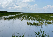 Сбор урожая риса и винограда на Кубани оказался под угрозой из-за страшных потопов