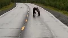 Медвежата играют на дороге между Новым Уренгоем и Тазовским