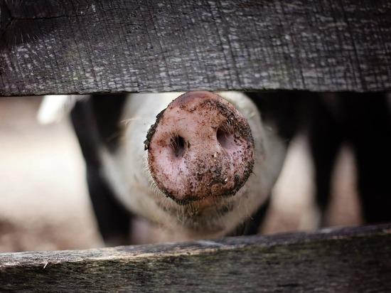 В Навашинском районе обнаружена африканская чума свиней