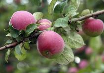 В этом году в Подмосковье уродился богатый урожай яблок
