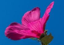 Новый вид очень прожорливой бабочки-вредителя, объедающей в районе Сочи посадки гибискусов, обнаружили этим летом на курорте ученые Субтропического научного центра РАН