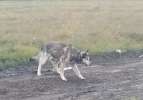 Бежал за машиной на шатающихся лапках: автомобилист выбросил старого пса в лесу Ямала
