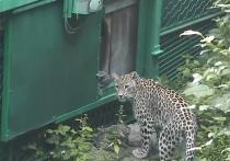 Котята переднеазиатского леопарда впервые вышли на прогулку в сочинском нацпарке