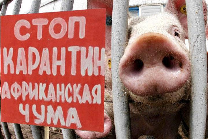 В Костромской области обнаружен еще один очаг африканской чумы свиней