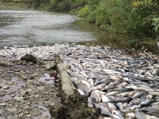 На Сахалине произошло массовое истребление горбуши ради икры