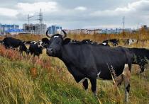 Больше 120 морозостойких коров переехало из регионов России на фермы Ямала