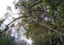 В парке ЖКХ в Рязани сломанная слива угрожает упасть на головы отдыхающих