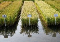 В уборке риса на Кубани задействуют 1,9 тысячи единиц техники