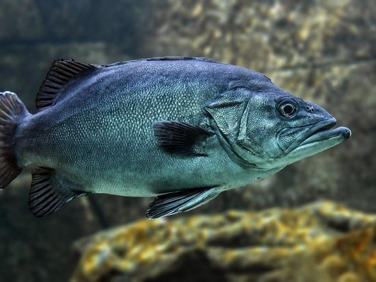 Российские биологи начнут лечить рыб мухами вместо антибиотиков