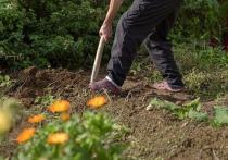 Зимой в растительных остатках могут сохраняться вредители, поэтому основные работы на огороде осенью – это уборка и перекопка земли