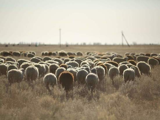 Зазевавшийся пастух заплатит 1 млн за вытоптанное поле под Волгоградом