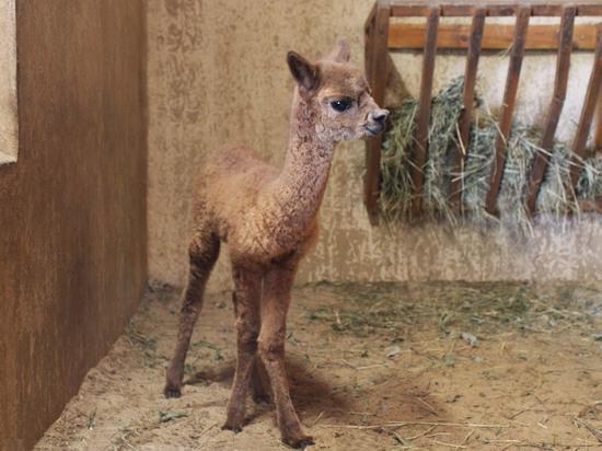 Альпака-богатырь родился в нижегородском зоопарке «Лимпопо»