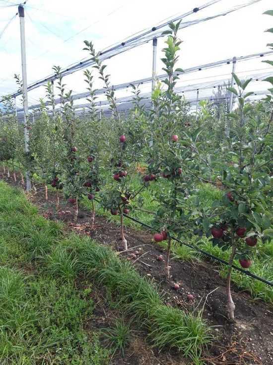 На Ставрополье закладывают яблоневый сад за 400 миллионов рублей