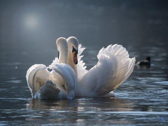 Лебеди будут жить на одном из водоемов Серпухова