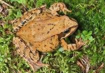 Остромордая и травяная лягушки — обитатели островков древесной растительности с сохранившимися еще в них водоемами, стремительно исчезают в Москве