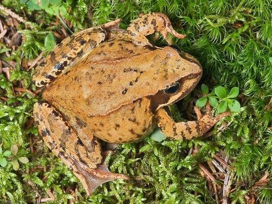 В Москве исчезают бурые лягушки: биологи бьют тревогу