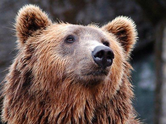 Под Кемерово медведь задрал грибника