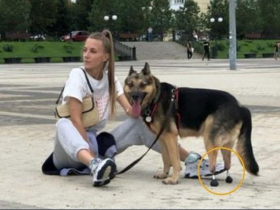 Разработанные в Томске протезы с биоактивным покрытием установили двум собакам