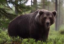 Наткнувшийся на медведя новгородец прогнал косолапого диким ором