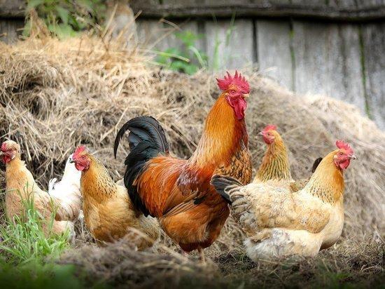 Прокуратура в Кузбассе начала проверку после сообщений о вони со стороны птицефабрик