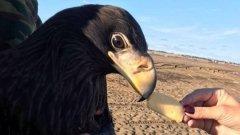 Жители Колымы рассказали об удивительной встрече с белохвостым доброжелательным орланом