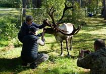 На два дня Ботанический сад Петрозаводского государственного университета пополнился новым аттракционом: все желающие могли пообщаться с настоящим северным оленем