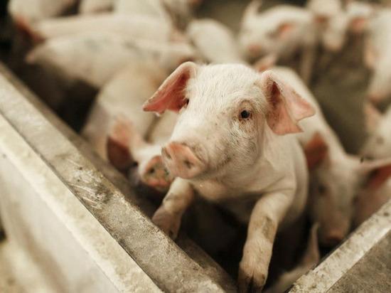 В Ленобласти запретили ввоз свинины из Пскова