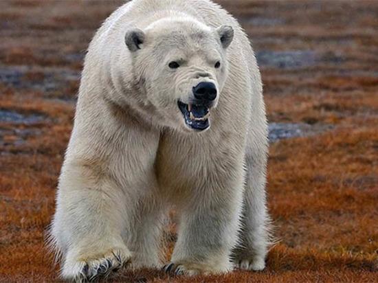 Белого медведя заметили в окрестностях Анадыря