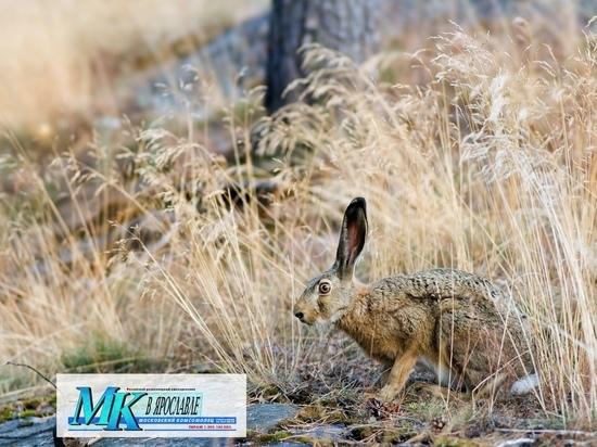 В Ярославле открывается охота на зайца и лису