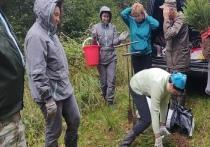 Сотни сеянцев европейской ели высадили в Холмском районе