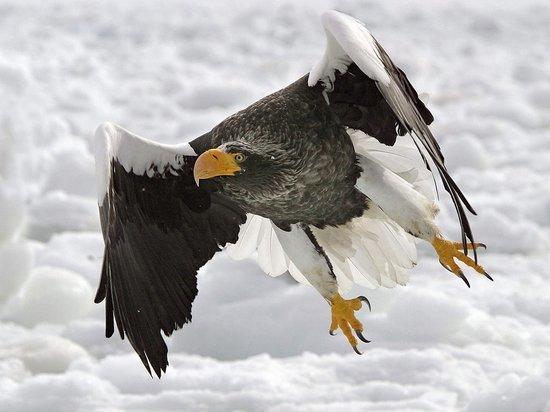 Орлан, который прилетел к жителям Колымы на побережье, возможно, не выживет без людей