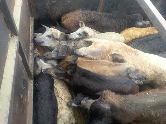 На калужской трассе остановили грузовик со свиньями без документов