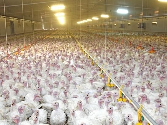 Тамбовская область вошла в тройку лидеров России по производству мяса птицы