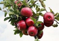 В Подмосковье объявили о начале экологической акции по сбору ненужных яблок