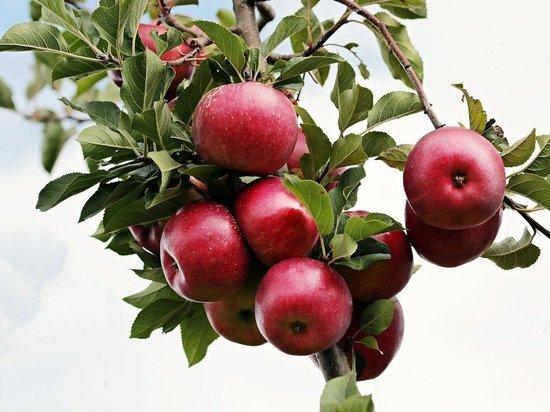 Как с пользой избавиться от лишних яблок: для падалицы открылись спецпункты