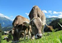 «А я свою Буренку приучил к лотку!» - возможно, уже в недалеком будущем такая фраза станет обычной среди владельцев коров
