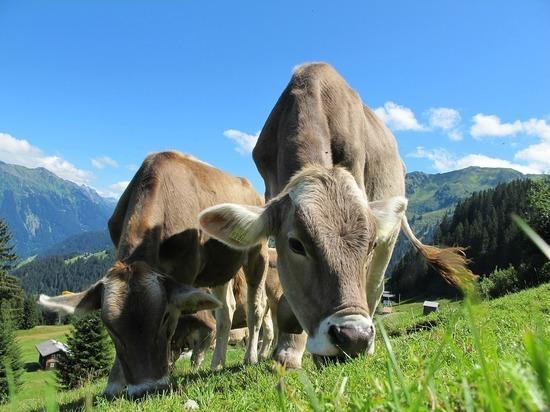 Ради борьбы с глобальным потеплением коров приучили «ходить на горшок»