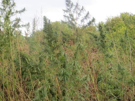 В Курманаевском районе на 10 гектарах растет конопля