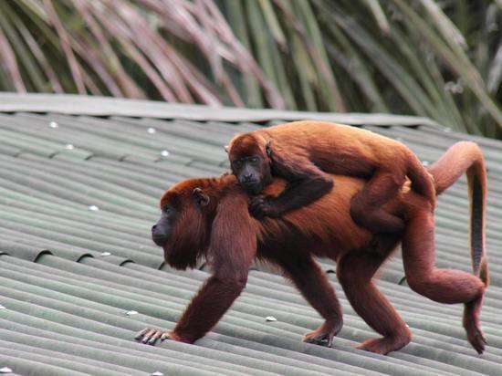 Приматы способны несколько месяцев испытывать горе от потери ребенка