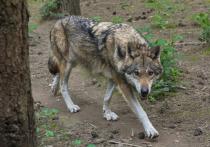 Охотники расквитались со старорусской волчицей за растерзанных собак