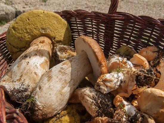 Бичом грибного сезона стали «сплошь дырявые боровики»