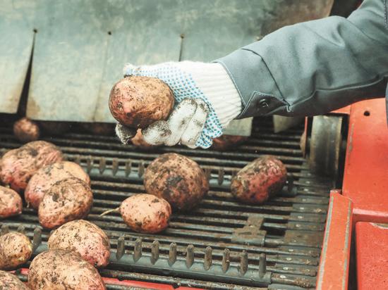 Впервые за 25 лет студентов отправили на картошку вместо гастарбайтеров