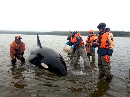 На Колыме сотрудники МЧС спасают детеныша косатки в бухте Гертнера