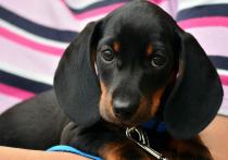 Эксперты перечислили десять пород собак, которые любят «поболтать» со своим хозяином больше остальных, пишет WagWalking