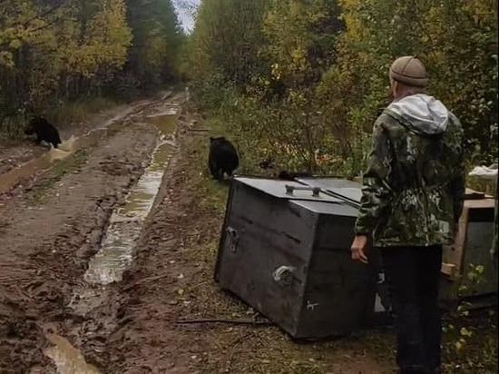 Три медведя из Кировской области вернулись в дикую природу